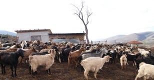 Schafe und Ziege Stockbild