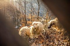 Schafe und Ziegen Lizenzfreie Stockfotografie