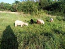 Schafe und Ziegen Stockbilder