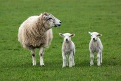 Schafe und zwei Lämmer Stockbilder