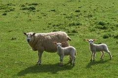 Schafe und zwei Lämmer Stockfoto