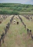 Schafe unter aufgegebenen Weinreben Stockfotos