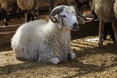 Schafe verkauft im Tiermarkt Stockfoto