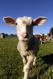 Schafe - Vieh lizenzfreies stockbild