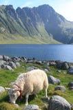 Schafe von Eggum Stockbilder