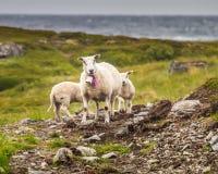 Schafe von Norwegen Stockbild