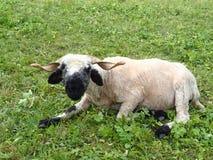 Schafe von Wallis, die Schweiz Lizenzfreies Stockfoto