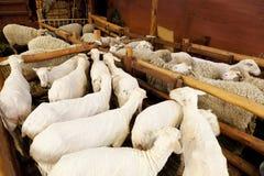 Schafe vor und nach dem Scheren Stockbild