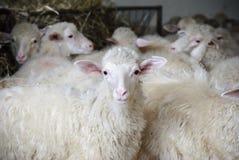 Schafe vorsichtig Stockfoto