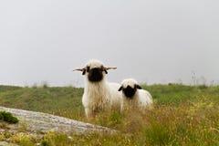Schafe Wallis Blacknose Stockfotos