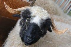 Schafe Wallis Blacknose, die aus der Schweiz stammen Stockbilder