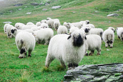 Schafe Wallis Blacknose leben bei Zermatt, die Schweiz in Herden Lizenzfreie Stockfotografie