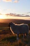 Schafe, welche die Ansicht genießen Stockfoto