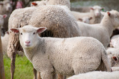 Schafe, welche die Kamera betrachten. Lizenzfreie Stockbilder