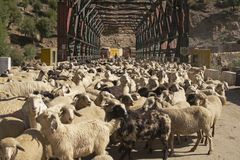 Schafe, welche die Straße blocken Stockfotos