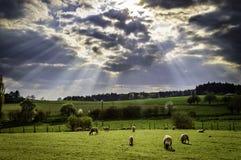 Schafe, welche die Wiese weiden lassen Stockbild