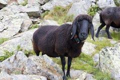 Schafe Willow Mountain Alp Grazing Lizenzfreie Stockfotos
