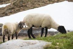 Schafe Willow Mountain Alp Grazing Lizenzfreie Stockfotografie