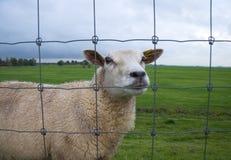 Schafe am Zaun Stockfotografie