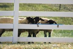 Schafe am Zaun Lizenzfreie Stockfotos
