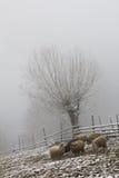 Schafe, Zaun und Baum gestalten während des Winters landschaftlich Lizenzfreies Stockfoto