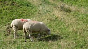 Schafessen Stockfotos