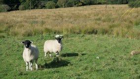 Schafessen Stockfoto