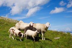 Schaffamilie auf Wiese Lizenzfreie Stockfotos