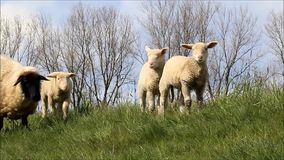 Schaffamilie mit Lämmern stock footage