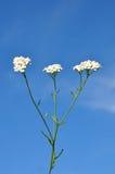 Schafgarbe (Achillea millefolium) Lizenzfreies Stockfoto