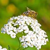 Schafgarbe (Achillea Millefolium) Lizenzfreie Stockfotografie