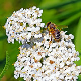 Schafgarbe (Achillea Millefolium) Lizenzfreie Stockfotos