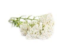 Schafgarbe (Achillea-millefolium) Stockbilder