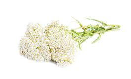 Schafgarbe (Achillea-millefolium) Lizenzfreie Stockfotografie