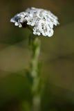 Schafgarbe (Achillea Millefolium) Stockfotos
