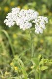 Schafgarbe (Achillea Millefolium) Stockbilder