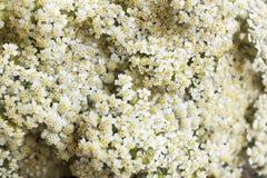 Schafgarbe, Achillea Millefolium als Hintergrund Lizenzfreie Stockbilder