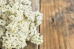 Schafgarbe, Achillea Millefolium mit Kopien-Raum Stockfoto