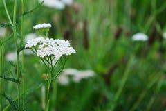 Schafgarbe blüht Achillea-millefolium Stockbild