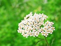 Schafgarbe blüht Achillea-millefolium Stockfotos