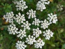 Schafgarbe - Feldblume stockfoto