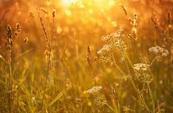 Schafgarbe im Sonnenuntergang Lizenzfreies Stockfoto