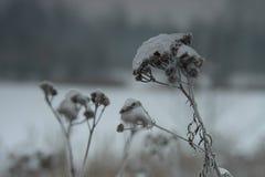Schafgarbe im Winter Lizenzfreies Stockbild