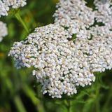 Schafgarbe (Lat Achillea-millefolium) Stockfoto
