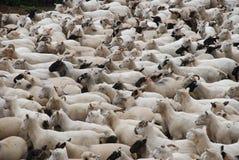 Schafherde auf Bauernhof Lizenzfreie Stockfotos