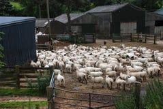 Schafherde auf Bauernhof Stockbilder