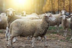 Schafherde auf dem Bauernhof Stockbilder