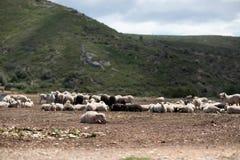 Schafherde auf dem Gebiet stockbilder