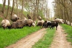Schafherde auf der Straße im Wald Lizenzfreie Stockfotografie