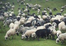 Schafherde auf der Weide lizenzfreie stockfotos